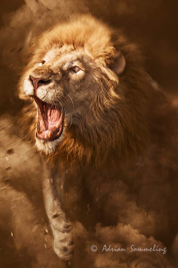 Lion by Adrian Sommeling on 500px.com