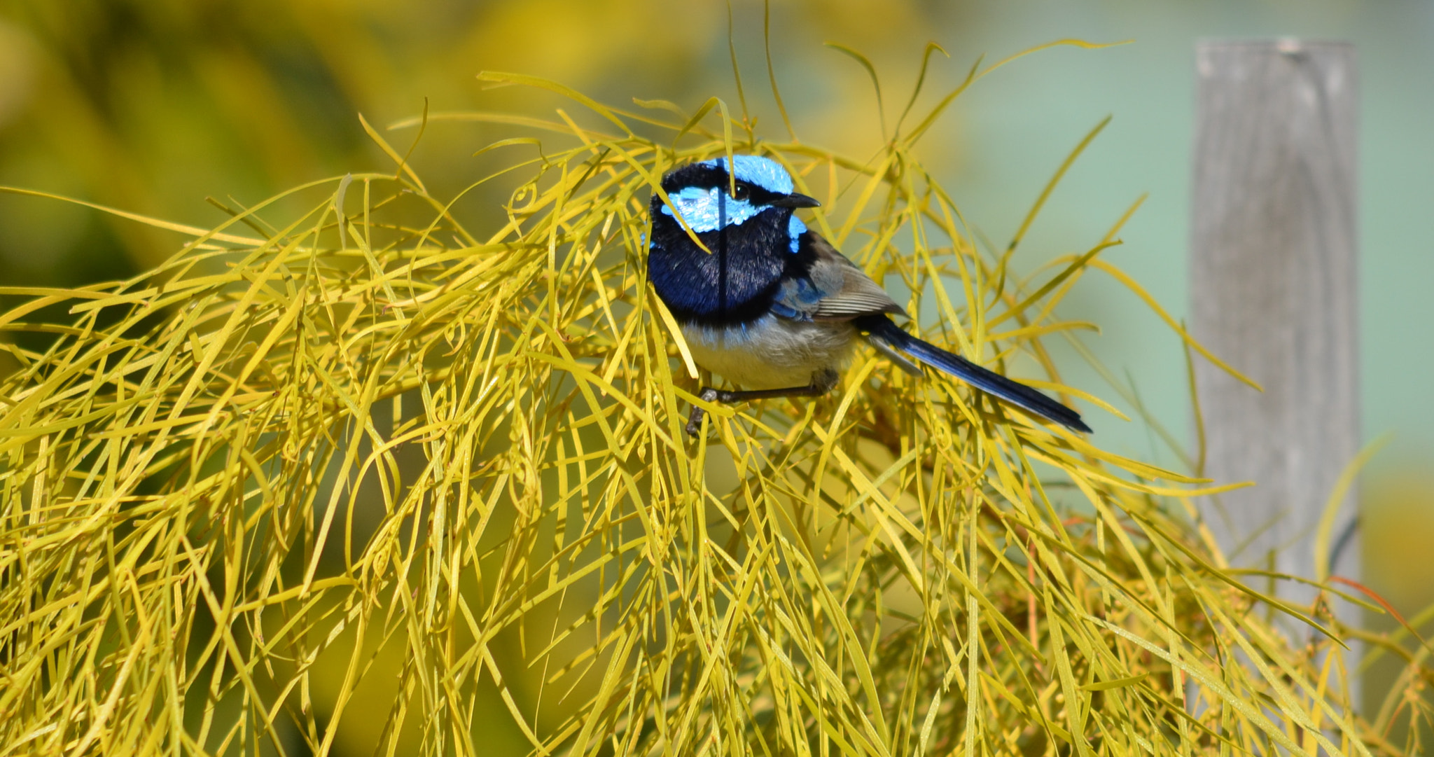 Photograph Superb Fairy Wren by Gerri Jones on 500px