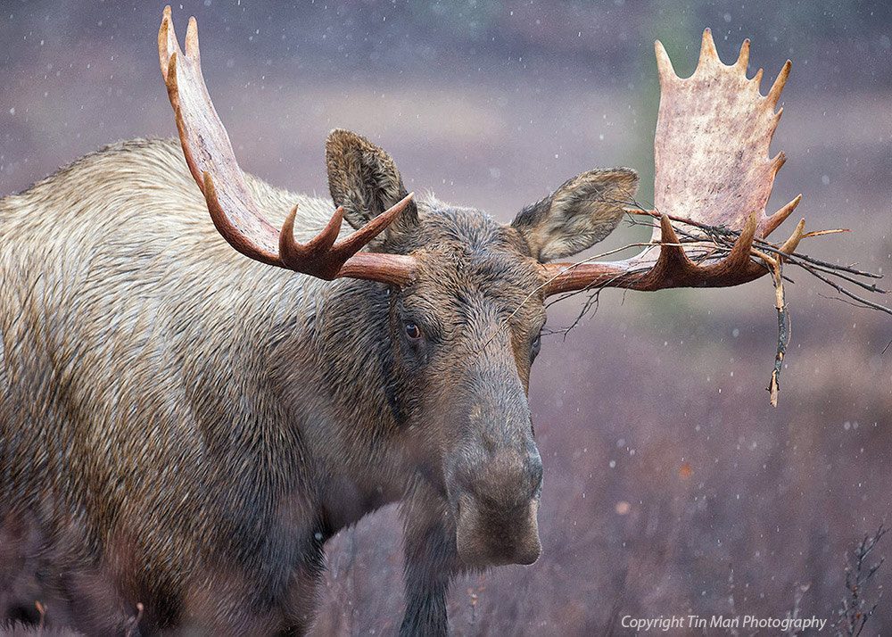 Photograph Close Encounter with a Bull Moose by Tin Man on 500px