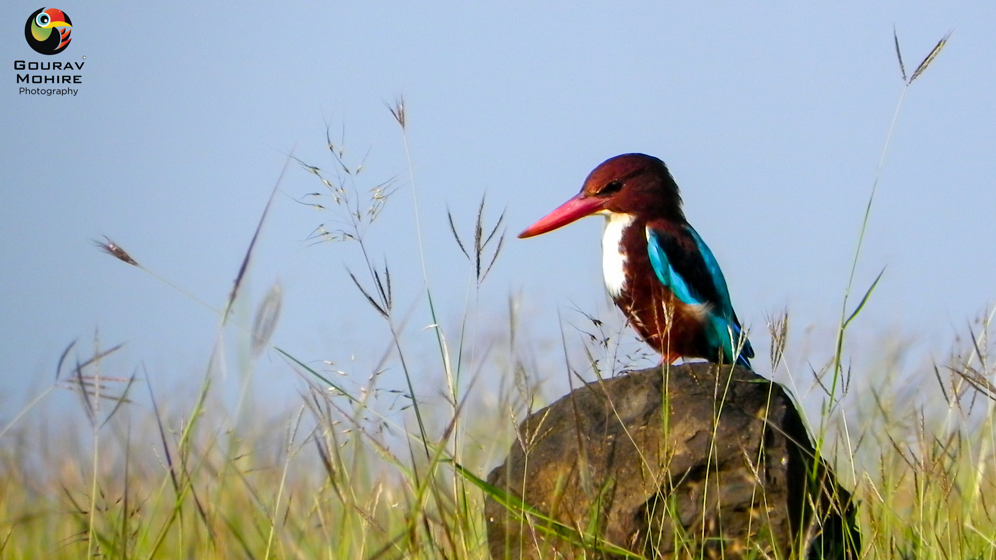 Photograph White Throated Kingfisher.. by Gourav Mohire on 500px