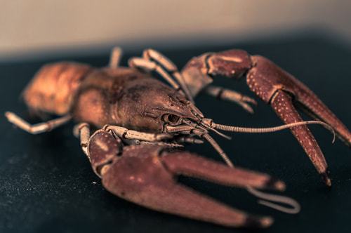 Photograph Crayfish 2 by Ian Anglin on 500px