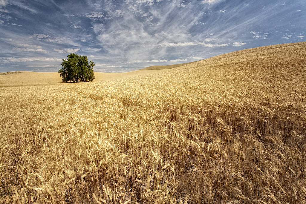Photograph Wheat by John Barclay on 500px