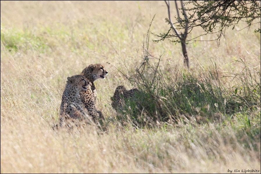 Cheetahs of Serengeti №1