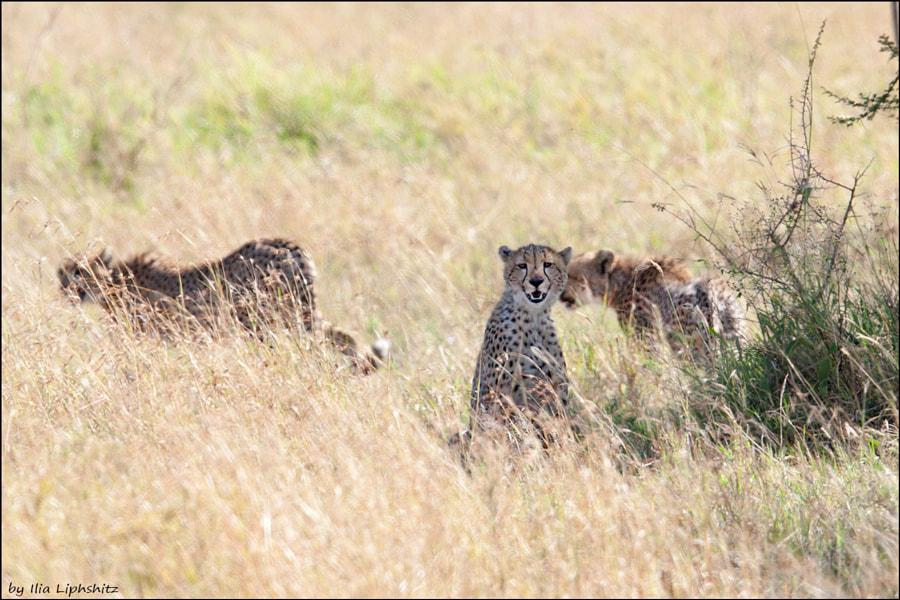 Cheetahs of Serengeti №2