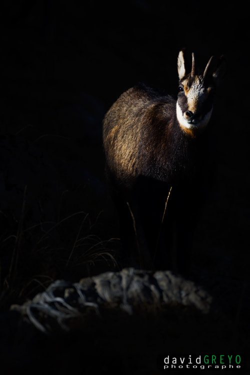 Photograph Chamois by David Greyo on 500px