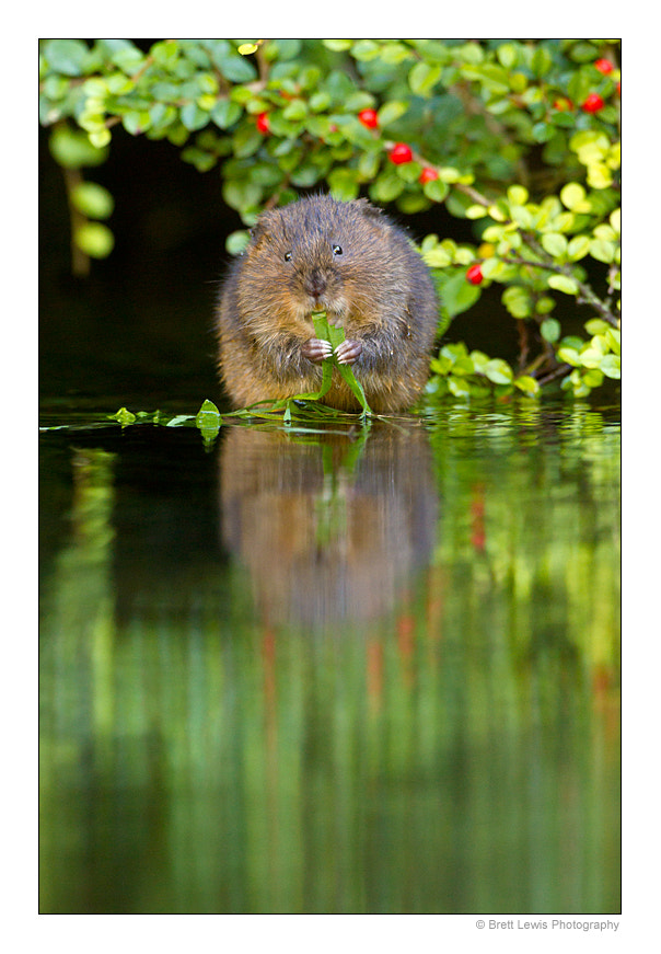 Photograph Water vole.. by Brett Lewis on 500px