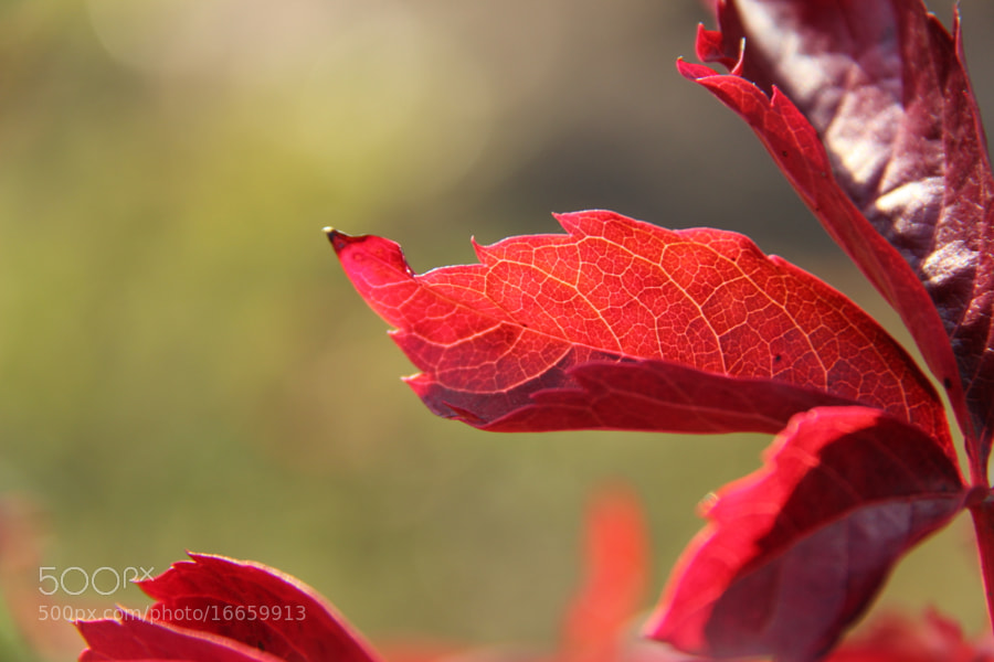 Photograph Illuminated Red Leaf - Part II by John Win on 500px