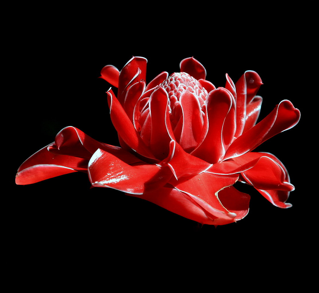 Photograph Torch Ginger Flower  by Guy HIGHLANDER on 500px