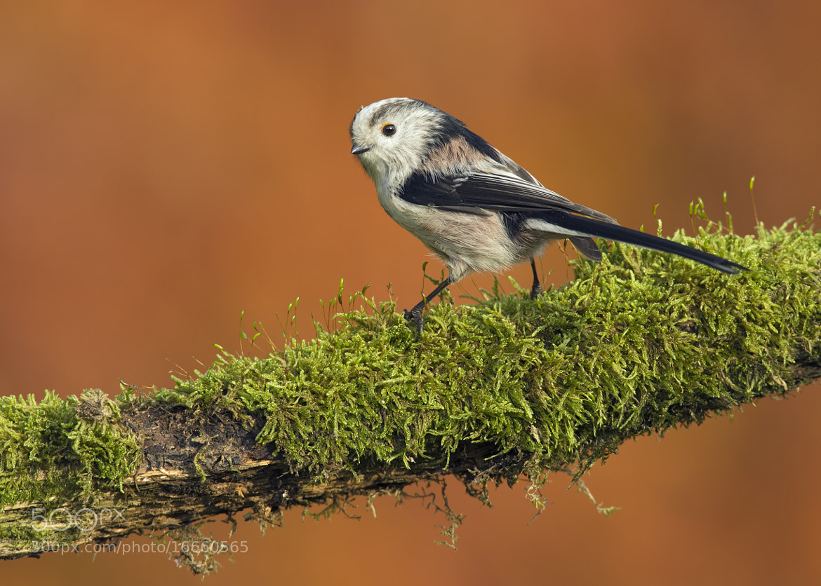 Photograph Autumn Long Tailed Tit by Sylvia Fresson on 500px