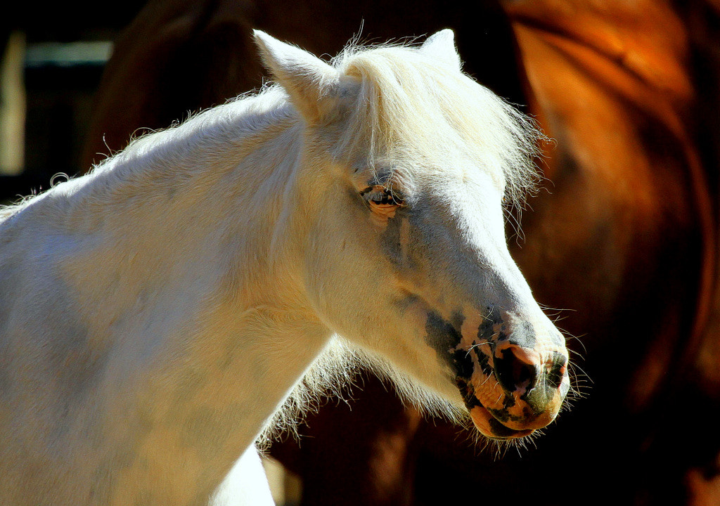 Photograph Fjordhorse by Rainer Leiss on 500px