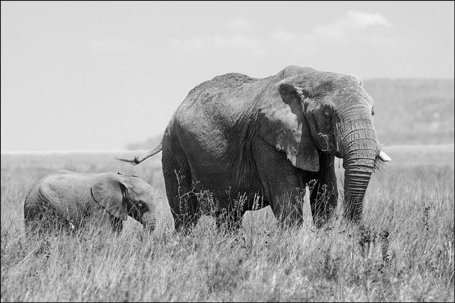 Elephants of Serengeti №5