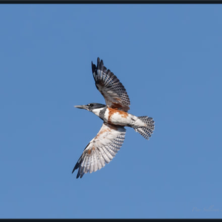 Belted Kingfisher, Canon EOS 7D MARK II, Canon EF 400mm f/4 DO IS II USM