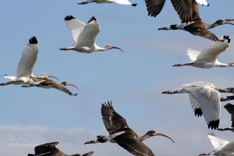 Photograph White Ibis by Liza Ershova on 500px