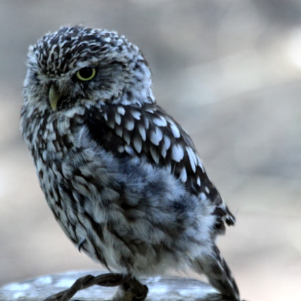The serious owl