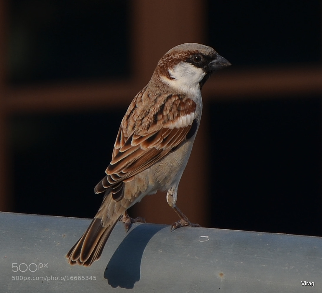 Photograph Sparrow by Virag Sharma on 500px