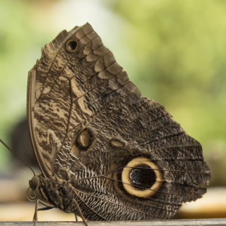 Giant Owl Butterfly, Panasonic DMC-GH4