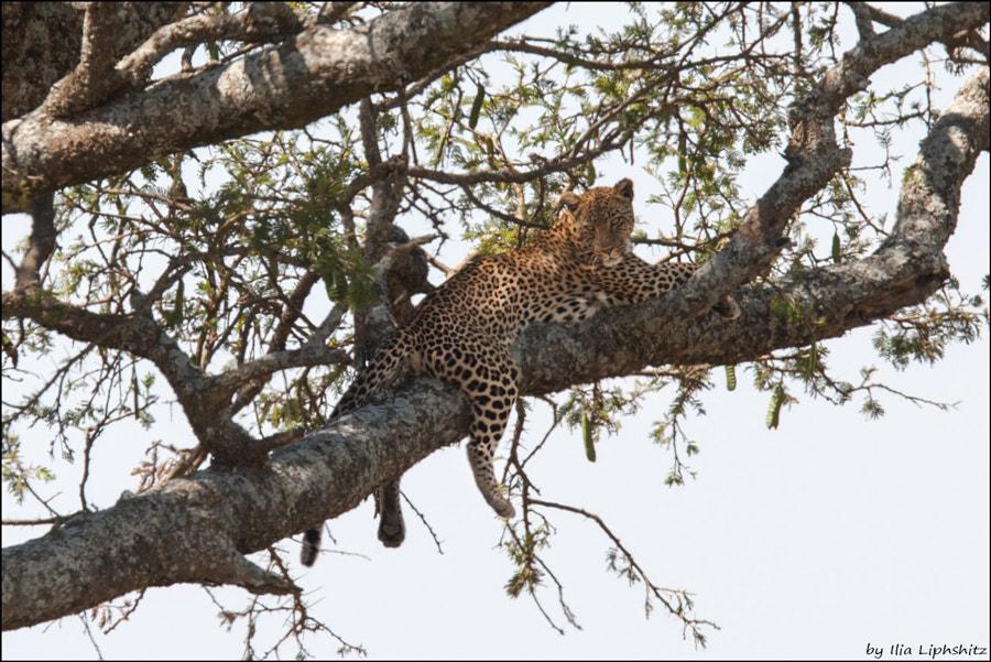 Leopards of Serengeti №1