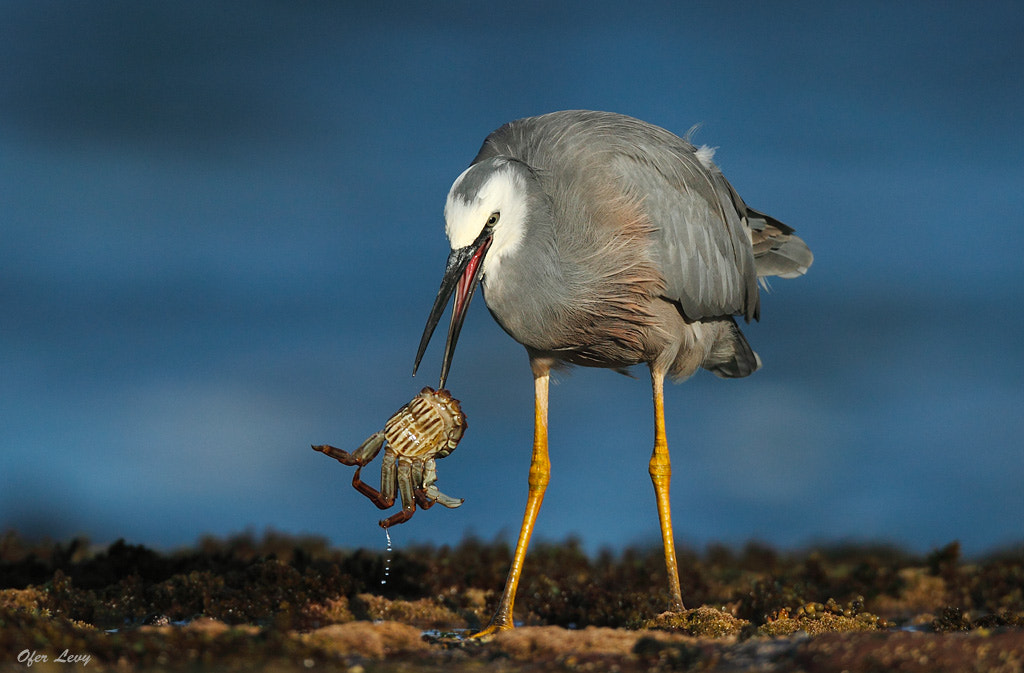 Photograph White-faced Heron with prey by Ofer Levy on 500px