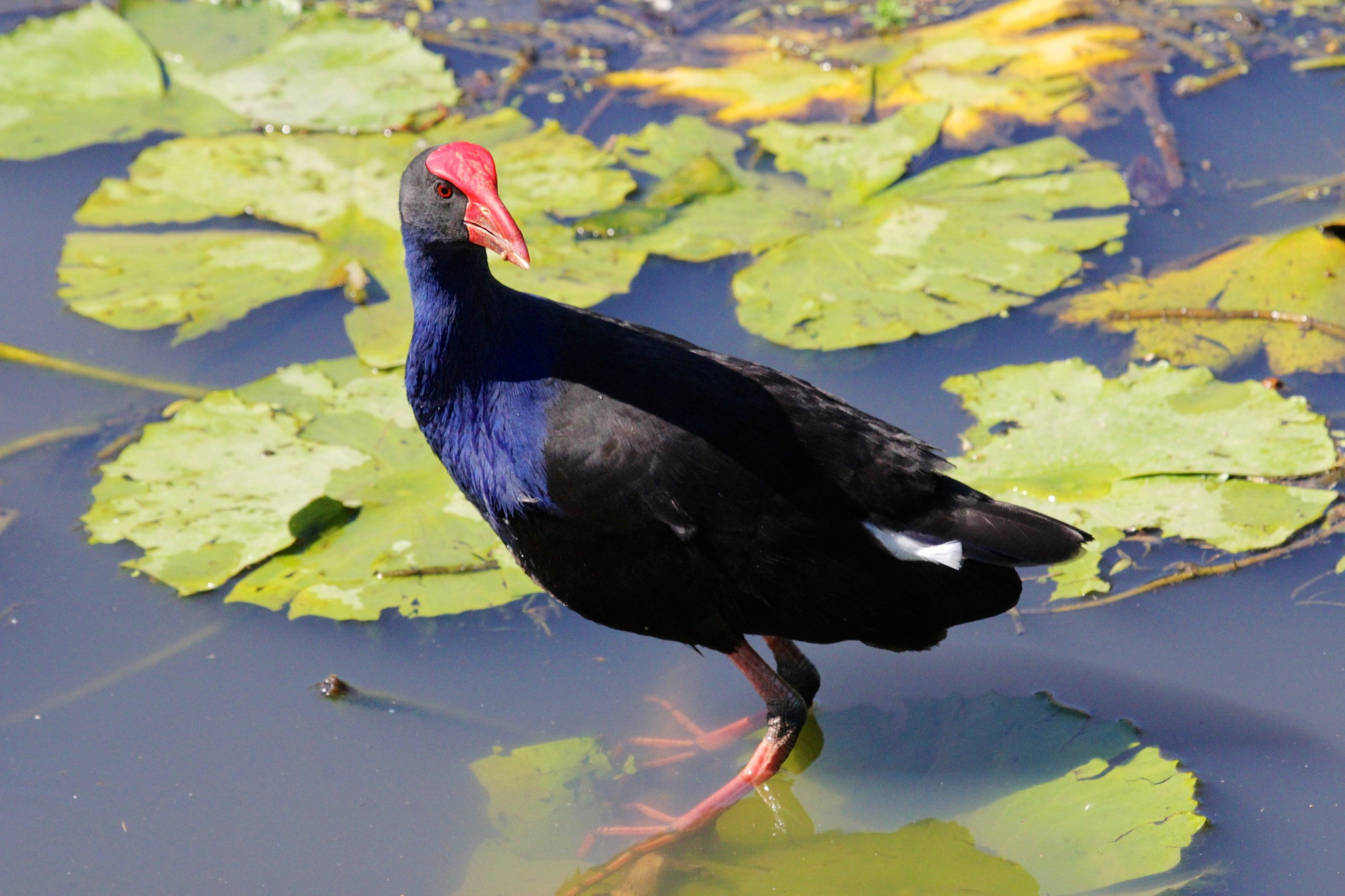 Photograph Purple Swamp-hen by Brian Basson on 500px