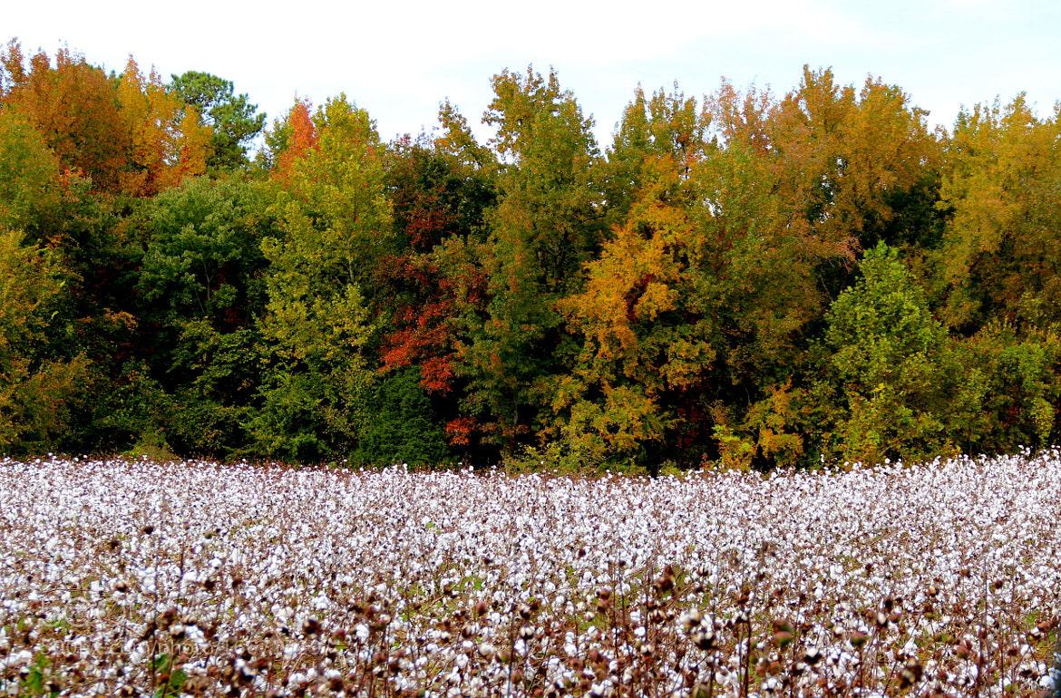 Photograph Cotton field by Ann Weis on 500px