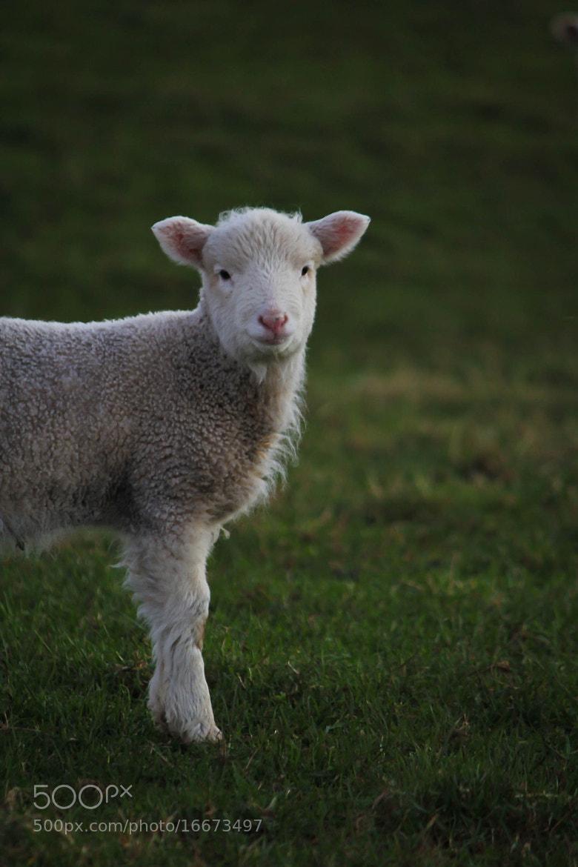 Photograph Little Lamb by Qallam Ahmad on 500px