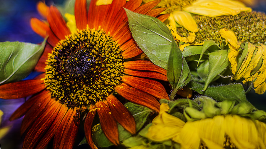 Bright Sunflowe Medly by Jeff Carter on 500px.com
