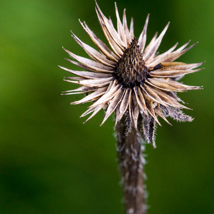 thistle portrait, Sony ILCE-7, Tamron SP AF 180mm F3.5 Di LD [IF] Macro