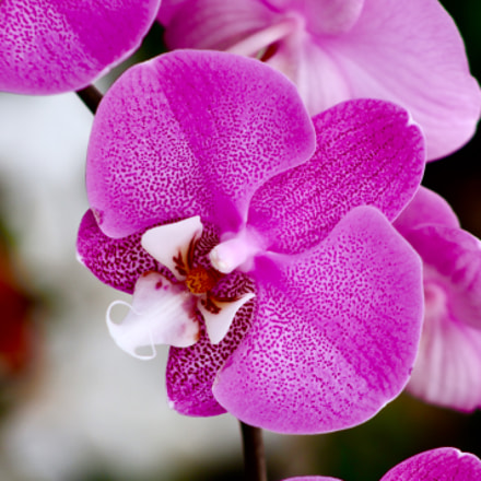 Orchid, Canon EOS REBEL T3, Canon EF75-300mm f/4-5.6 USM