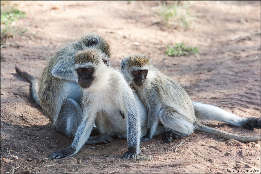 Vervets of Serengeti №1