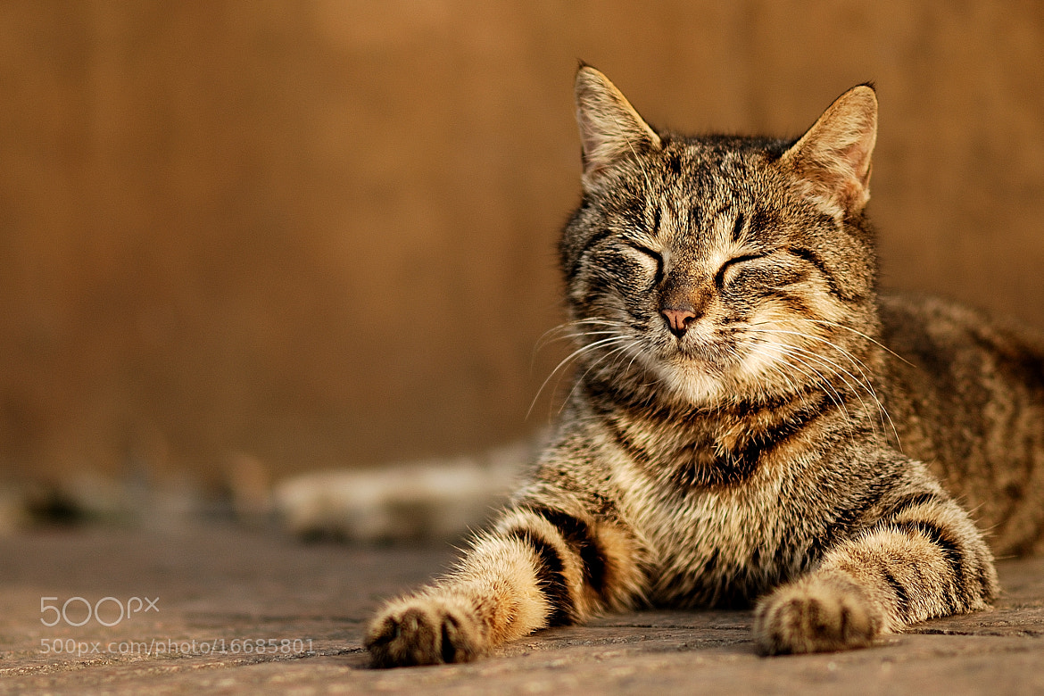Photograph Cat nap by Viktor Chan on 500px