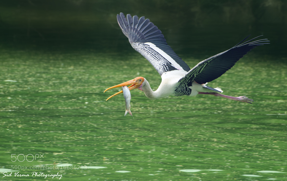 Photograph Big Catch (Painted Stork) by Sid Verma on 500px