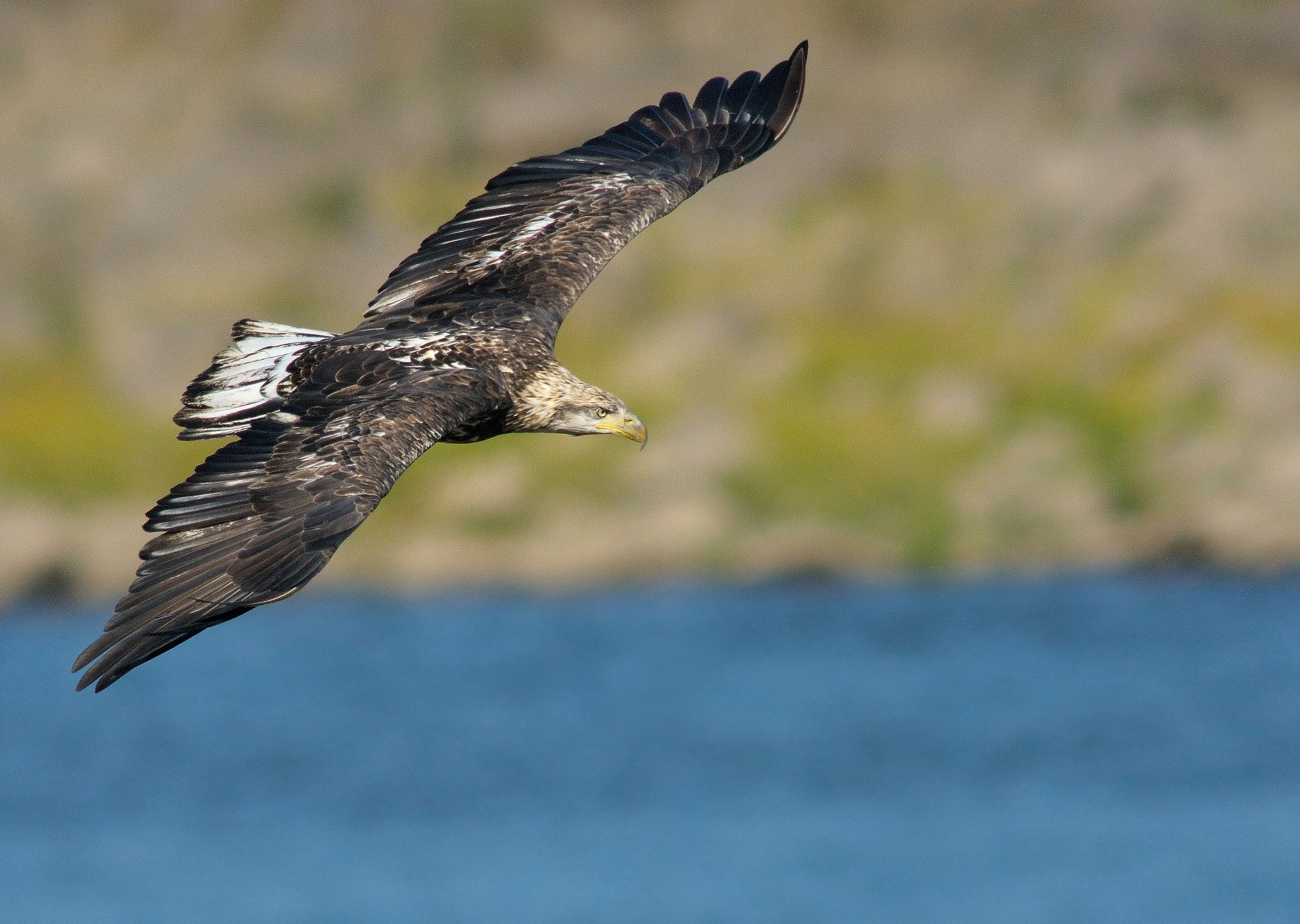 Photograph Sub-Adult American Bald Eagle by Mark Schwall on 500px
