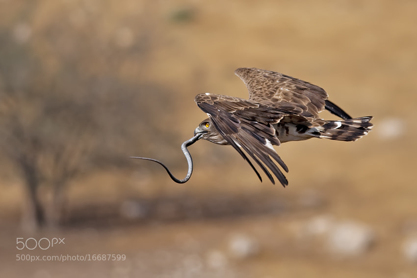 Photograph Short Toed Eagle by nissim levi on 500px