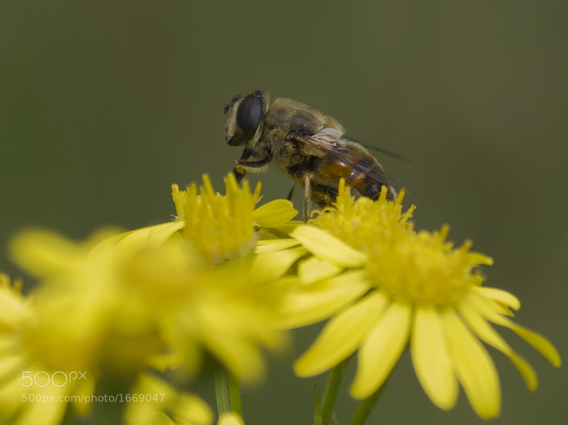 Photograph Bee looking for pollen by Eric Faber on 500px