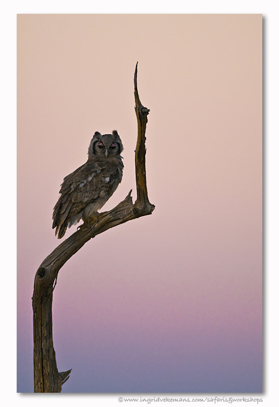 Photograph Owl Sunset by Ingrid Vekemans on 500px