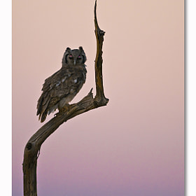 Owl Sunset by Ingrid Vekemans (IngridVekemans)) on 500px.com