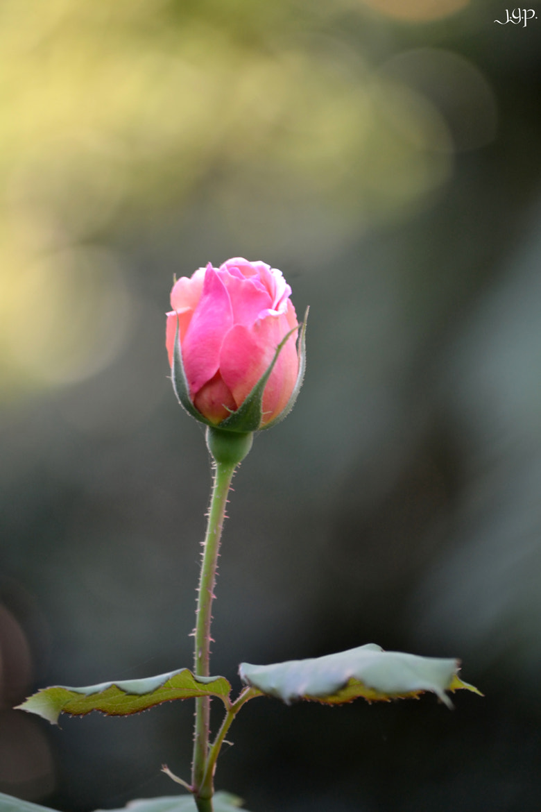 Photograph Rose by Jose Antonio Gomez on 500px