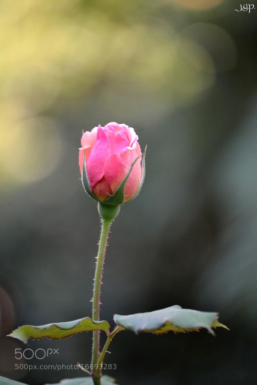 Photograph Rose by Jose Antonio Gomez on 500px