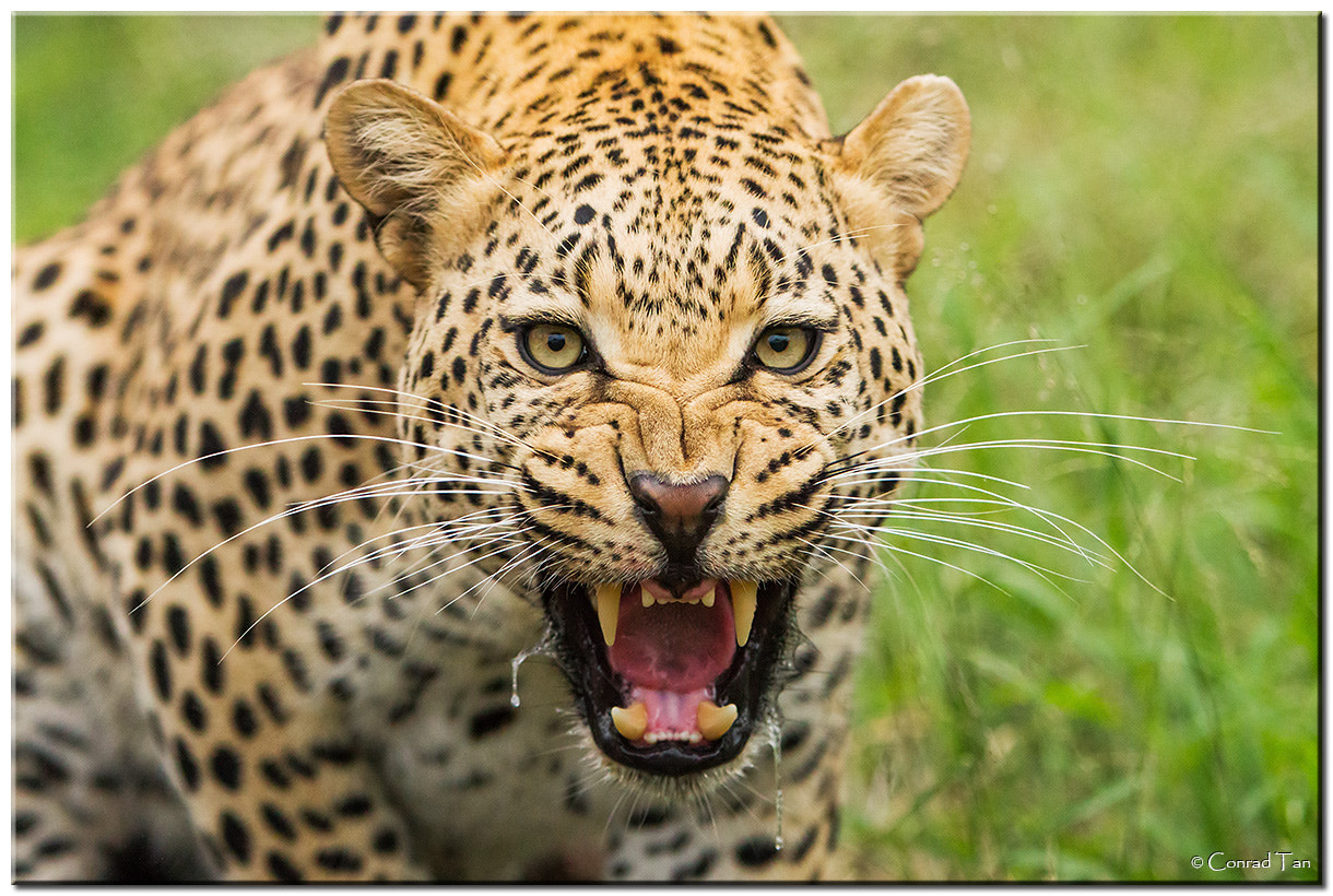 Photograph Snarl!!!!!!!! by Conrad Tan on 500px
