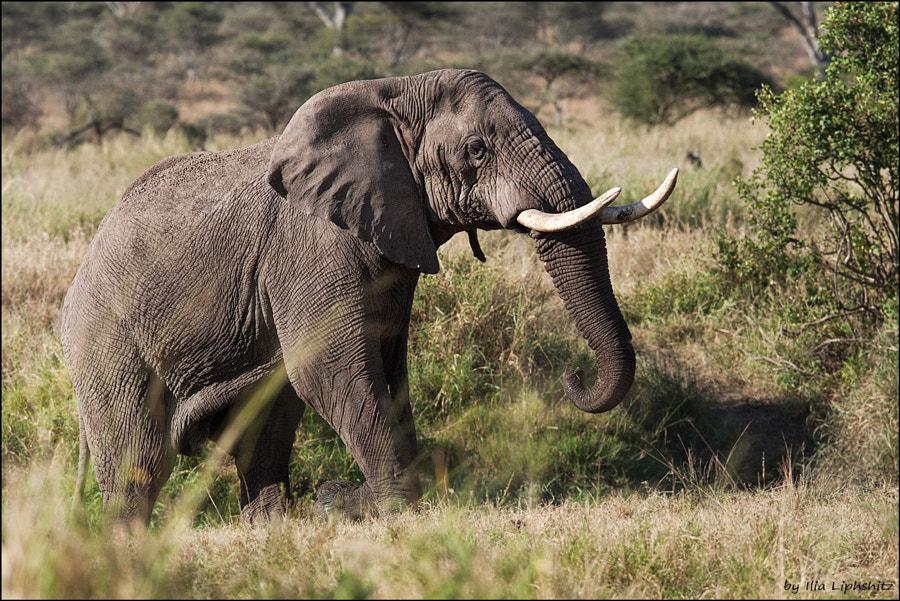 Elephants of Serengeti №6