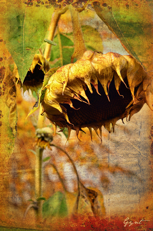 Photograph Sunflower by Gynt S on 500px