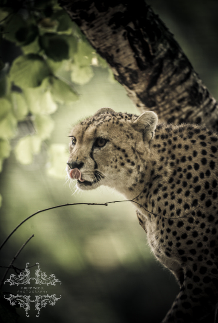 Photograph Cheetah by Philipp Wedel on 500px