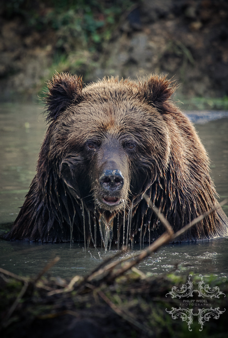 Photograph Grizzly - Bathing by Philipp Wedel on 500px