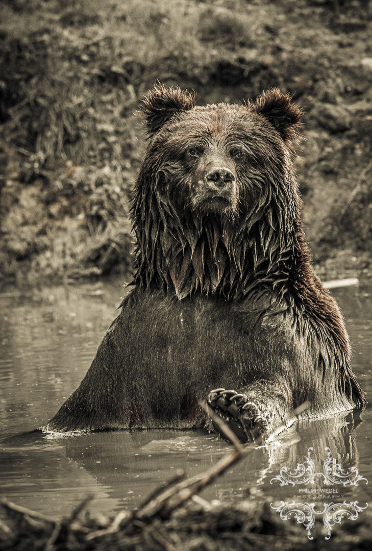 Photograph Grizzly - Bathing II by Philipp Wedel on 500px