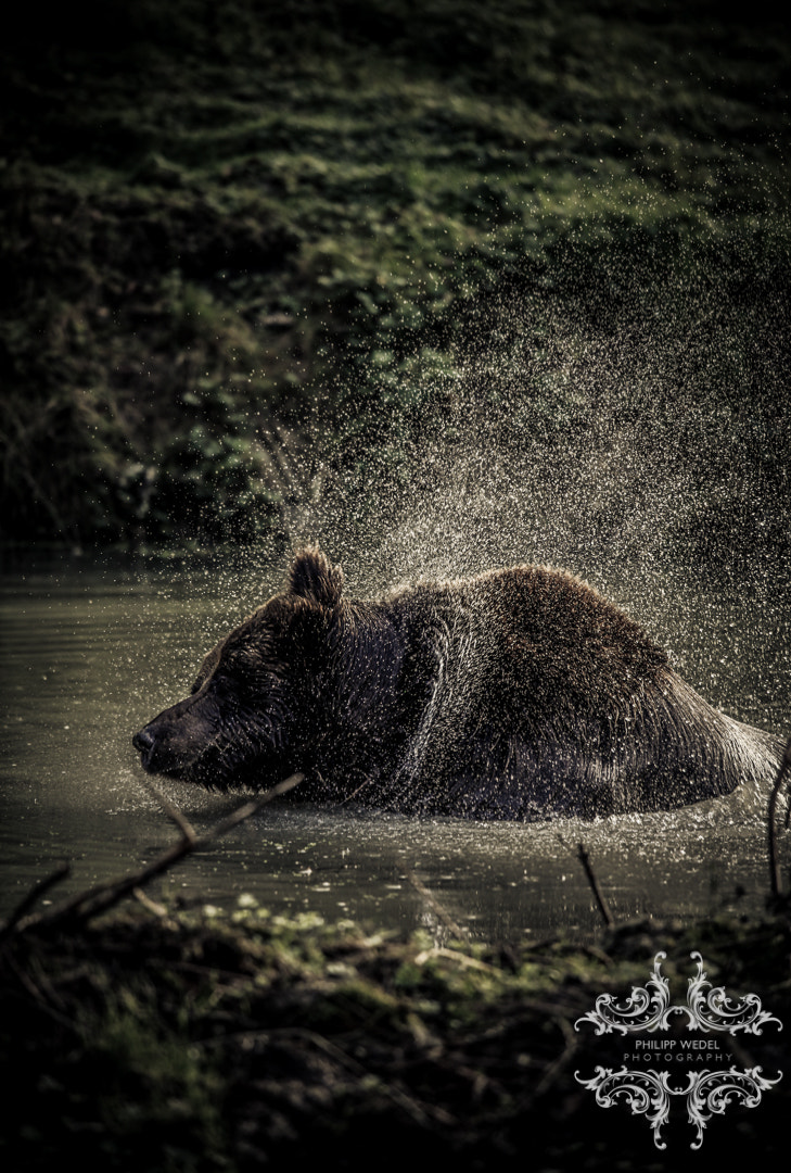 Photograph Grizzly - Bathing III by Philipp Wedel on 500px