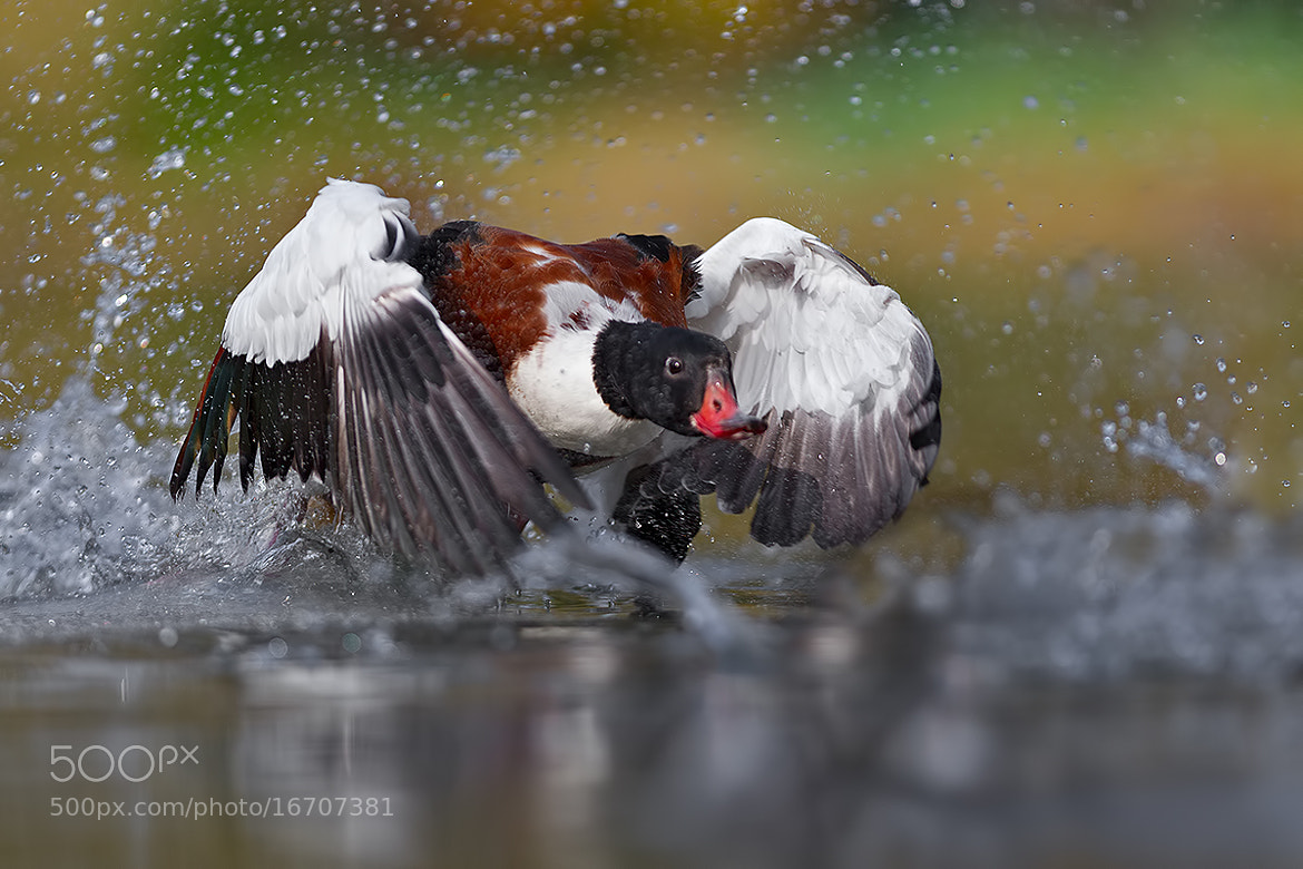 Photograph Common Shelduck by Gianluca Farina on 500px