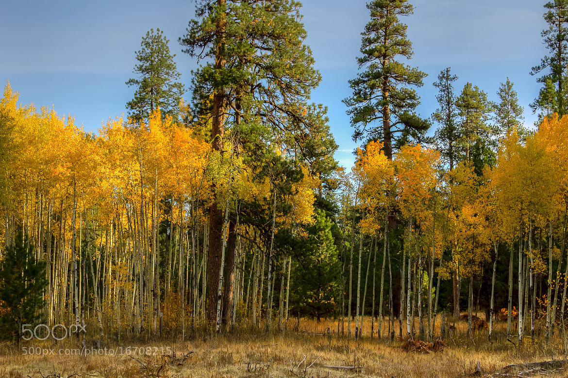 Photograph Ochoco Aspen Grove by Joe Hudspeth on 500px