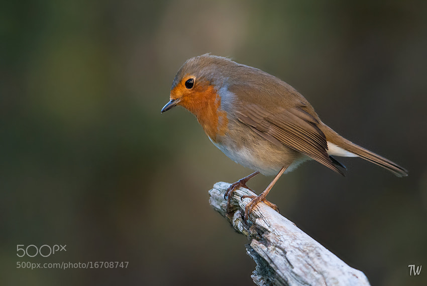 Photograph Robin by Trond  Westby on 500px