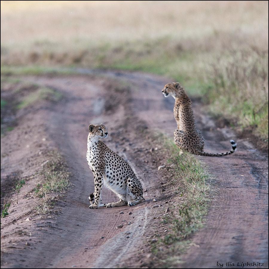 Cheetahs of Serengeti №3
