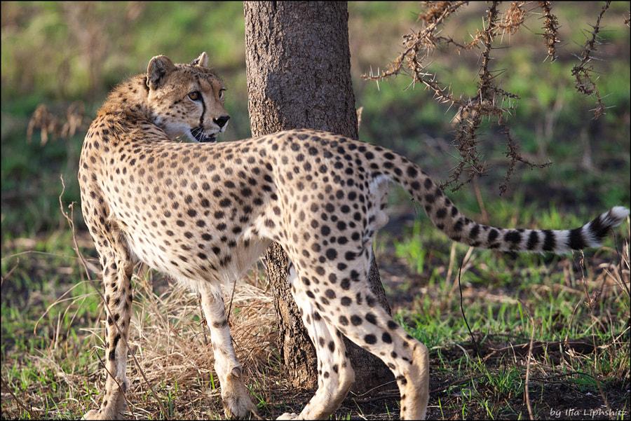Cheetahs of Serengeti №4